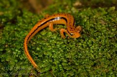 Southern Two-lined Salamander (Eurycea cirrigera) (Don Filipiak) Tags: orange mountain male yellow georgia adult stripe salamander herps pigeonmountain caudata diffusedflash nikonmacro herping cirri euryceacirrigera herpphotography caudate southerntwolinedsalamander nikon105mmmicro nikond7000 nikonwildlife rainforestdon