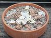 DSCF0415 (BobTravels) Tags: plant stone bob lithops lithop messem bobwitney