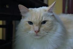 Gandalf (frankbehrens) Tags: cats tom cat chats chat gatos gato katze katzen kater ragdoll