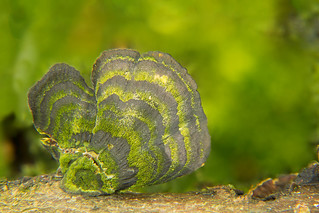 Forrest clams