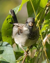 house sparrow (m) (material guy) Tags: belmont massachusetts housesparrow habitat
