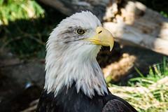 Bald Eagle in Utah's Hogle Zoo (Michael Hesley Photography) Tags: birthday utah hoglezoo hannahhesley michaelhesleyphotography aikowalker
