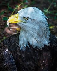 Bald Eagle (David Wirtz) Tags: david bird zoo eagle kentucky ky bald raptor wirtz louisville 2014 zoosofnorthamerica davidwirtz
