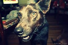 Eso se come?... / it eats? (T o r n a s o l a r ☀) Tags: chile dog chien cão cane hond perro hund 犬 狗 köpek собака quilpue 개 mejoramigo σκύλοσ