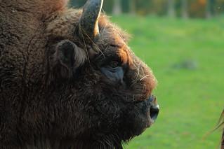 European bison / wisent