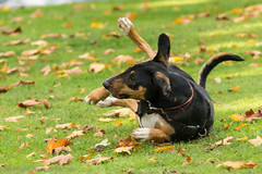 position 3 - explore-2014-10-22 (RCB4J) Tags: autumn dog art happy photography garscubeestate sigma150500mmf563dgoshsm siameselurcher sonyslta77v dobermanterrier ronniebarron rcb4j