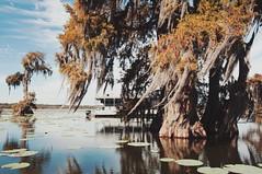 29 (kylen.louanne) Tags: portrait nature cat louisiana alligator gators bayou swamp cypresstrees lakemartin breauxbridge swampcat