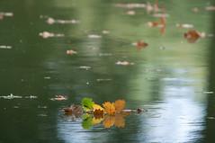 Laubschwimmer (sduesterhus) Tags: autumn lake reflection nature leaves swimming see oak nikon schwimmen outdoor herbst natur bltter spiegelung eiche kleinauheim altefasanerie d5000