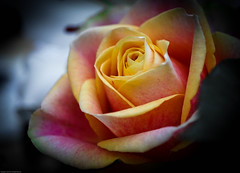 A rose from Tesco!! (judy dean) Tags: rose ngc tesco supermarket peachy 2014 naturethroughthelens judydean sonya6000