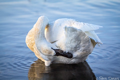 """Trumpeter Swan Preening"" by Patti Deters (Patti Deters) Tags: wild white bird nature water beauty horizontal river one groom swan alone wildlife beak twist single reach elegant creature solitary avian preen feathered tuck trumpeterswan cygnus cygnusbuccinator 70d buccinator canon70d"