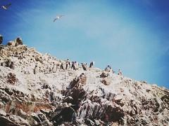 Pingouins - islas ballestas