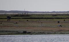 Mud flats, Ria Formosa, Algarve (Fiona in Eden) Tags: sea portugal marina silver pier crane wildlife jetty lagoon atlantic algarve olha egret stork riaformosa armona ilhadaarmona