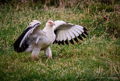 2014 Kenya Samburu Masi Mara-204 (jkardysphotos) Tags: africa bird kenya vulture samburu masimara sigma150500 nikond7100