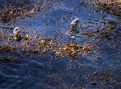 Heron & Otter_MG_3327 (Rob DeGraff) Tags: california blue sea seaweed heron birds great otter californiacoast 2014 californiabigsur