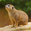 Meerkat (Stokstaartje) (Foto Martien) Tags: tree animal germany southafrica deutschland zoo photo meerkat klein foto sony details small picture boom info eucalyptus botswana documentation information dier description nordrheinwestfalen explanation mozambique duitsland a77 suricate suricatasuricatta stokstaartje dierentuin erdmännchen dierenpark northrhinewestphalia suricata aardmannetje diertje zooduisburg suricato documentatie informatie kalaharidesert toelichting beschrijving martienuiterweerd martienarnhem fotomartien sonyslta77v sonyalpha77 geotaggedwithgps tamron70300mmf456sp