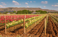 Cultivating Smiles (Stormsignal) Tags: flowers flower color colour colors southafrica cultivation magaliesberg stormsignal
