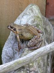 Rebbit (lordblakey) Tags: garden frog ukwildlife