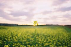 Golden hour. (Hello i'm Wild !) Tags: flowers light sunset summer film nature colors field analog 35mm landscape countryside dof bokeh breathe goldenhour olympusom10 kodakgold200