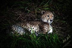 cheetah الفهد (محمد بوحمد بومهدي) Tags: animals zoo nikon cheetah kuwait 28300mm 28300 حيوانات الكويت حيوان حديقة d810 فهد نيكون بوحمد buhamad الفهد أمحمد