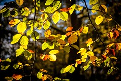 Autumn Gold - Pipers Hill (Macro light) Tags: autumn trees sunshine woods wildlife autumnleaves trust worcestershire beech autumnchanges hanbury naturereserves autumncolour beechleaves autumngold beautifulbritain pipershill