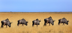 Blue Wildebeest across the Etosha Plains (paulafrenchp) Tags: