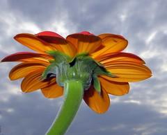 I'm Blooming Proud (Dazzygidds) Tags: sunflower nationaltrust warwickshire blooming orangesunflower lovingthelight variegatedsunflower coughtoncourtgardens theskiesarechanging
