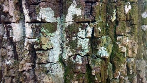 Textura (Peroba-rosa) - Pedreira do Monjadão - Região de Planaltina - Goias - Brasil