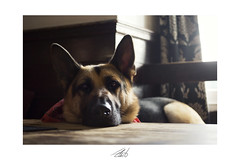 A sleepy 'satian (John Liot) Tags: portrait cute dogs nose pub soft cornwall adorable ears 40mm pup germanshepherd alsatian fella merryn jowls 2014 gentlegiant canon6d johnliot