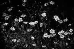 Wild Daisies (Stephen Marriott) Tags: flower daisies daisy 5milesfromhome donisthorpecountrypark
