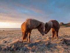 Iceland - May 2015 (3 Wild Sheep) Tags: 2016 iceland osar vatnsnespeninsula clouds horses midnightsun skyscapes spring