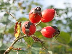 Hagebutte P9241306 (Thomas Rossi Rassloff) Tags: natur land hagebutte frucht