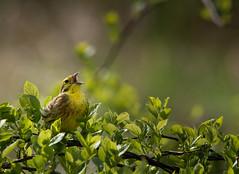 Lovesong (Apodidae) Tags: geelgors tbingen badenwrttemberg germany de bird