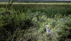 The Hideout (Scott Sanford) Tags: texas outdoor summer morning naturallight canon eos 6d nature ef100400mmf4556lisiiusm color wildlife birds animals anahuacnationalwildliferefuge