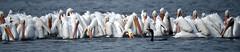 Shoulder to Shoulder (Dodge Rock) Tags: americanwhitepelican pelican whiterocklake