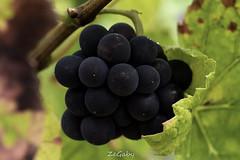 Vine Grapes (ZeGaby) Tags: bokeh champagne grapes macrophotography naturephotography pentax pentax100mmmacro pentaxk1 vines vineyards