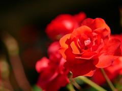 rose (Copa.oreo) Tags:  rose