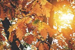 Autumn Leaves (Sareni) Tags: sareni selovenia slovenija maribor mb park citypark mestnipark branches granje leaves lisce list sun sunce zrak light svetlost colors boje autumnleaves vintage mate mute fall october 2010 twop sunset zalazak