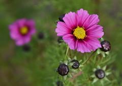 DSC_3205 (PeaTJay) Tags: nikond750 reading lowerearley berkshire macro micro closeups gardens outdoors nature flora fauna plants flowers