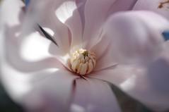 Spring Blossom (Takamur Bandit) Tags: pentaxk7 pentax 35mm da35mmlimitedmacro macro flower botanical f28 400iso