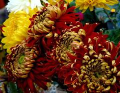 Herbstzauber : Chrysanthemen (swetlanahasenjger) Tags: chrysanthemen rotgelbweiss herbst oktoberfest saariysqualitypictures flowerarebeautiful coth coth5 thebestofmimamorsgroups