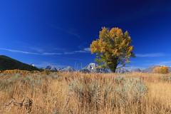 One (alideniese) Tags: grandtetonnationalpark wyoming usa landscape sunny tree autumn fall autumncolours yellow blue mountains sky grass outdoors