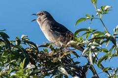 Mocking Bird Can Sing! (MelRoseJ) Tags: lodi california unitedstates woodbridgeecologicalreserve birds nature sonyalpha sal70400g sony sonyilca77m2 a77ii alpha autofocus mockingbird