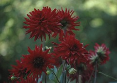 Autumn red / szi vrs (Anoplius) Tags: red rot vrs piros anoplius nikon40x sz autumn fall herbst virg blume kert garden garten