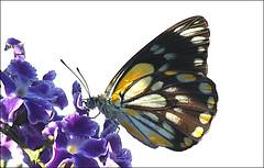 Butterfly bonanza (judith511) Tags: odc macro closeup butterfly duranta geishagirl flower plant feeding