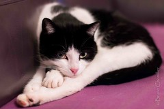 Houpette (brunochomilier) Tags: chat chatte flin