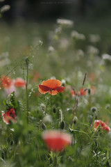 Late poppies (esmeecadoni) Tags: europe netherlands beautifulearth red sony sunlight sun outdoor autumn simple simplicity minimal minimalistic light littlethings holland morning bokeh photography green fall drenthe backlight nature poppies