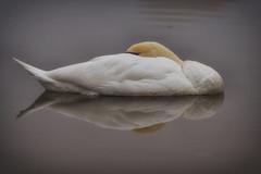 Swanning Around (paulinuk99999 (lback to photography at last!)) Tags: paulinuk99999 sleeping swan water pond surrey wildlife sal135f18za explore zeiss