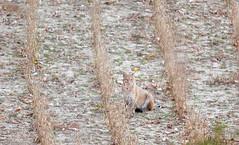 Here Kitty Kitty (jamescaldwell1) Tags: bobcat kansas wwwoutsideshotfineartphotoscom