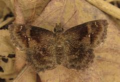 Staphylus huigra huigra (Birdernaturalist) Tags: butterfly carcharodini ecuador guayas hesperiidae manglaresdechurute pyrginae richhoyer