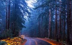 Wet Forest (Old McKenzie HWY, Sisters Wilderness, OR) (Sveta Imnadze) Tags: rain fog mckenziehwy pacificnorthwest oregon centraloregon sisterswilderness